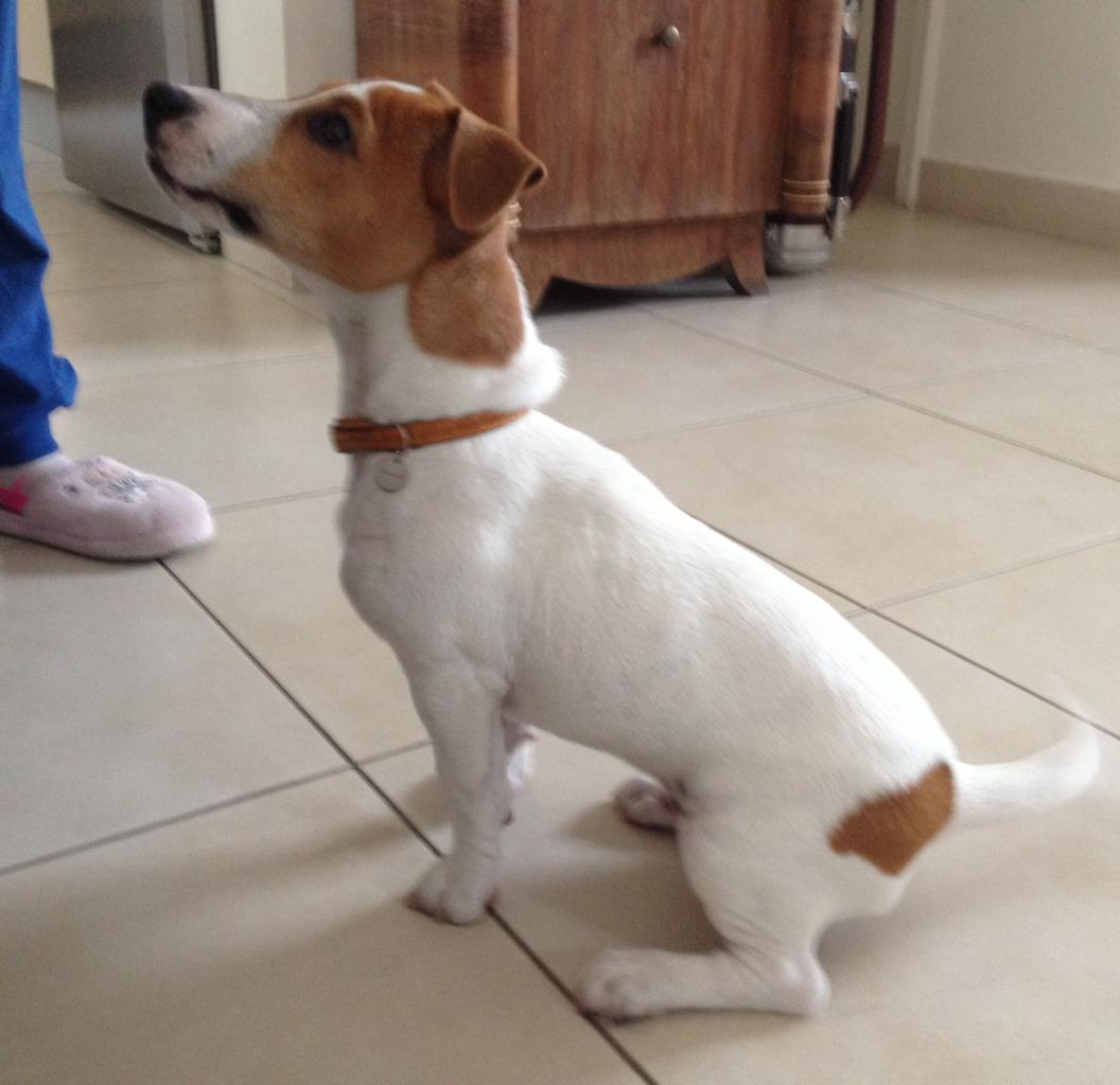 charly, jack russel de 4 mois