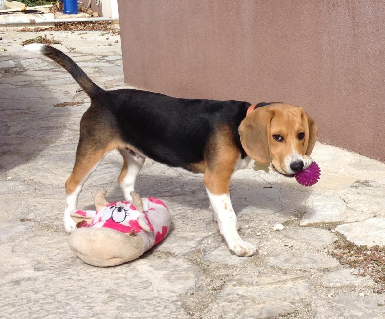 Iska, beagle de 5 mois
