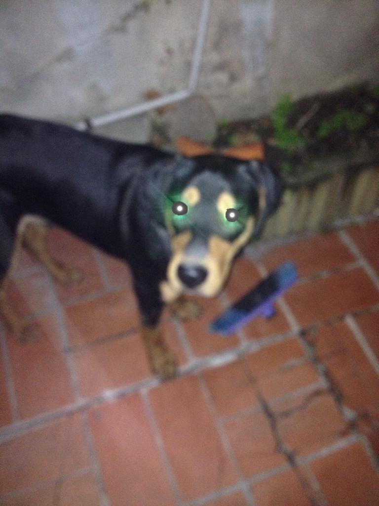 Pancho, croisé beauceron & berger, 7 mois