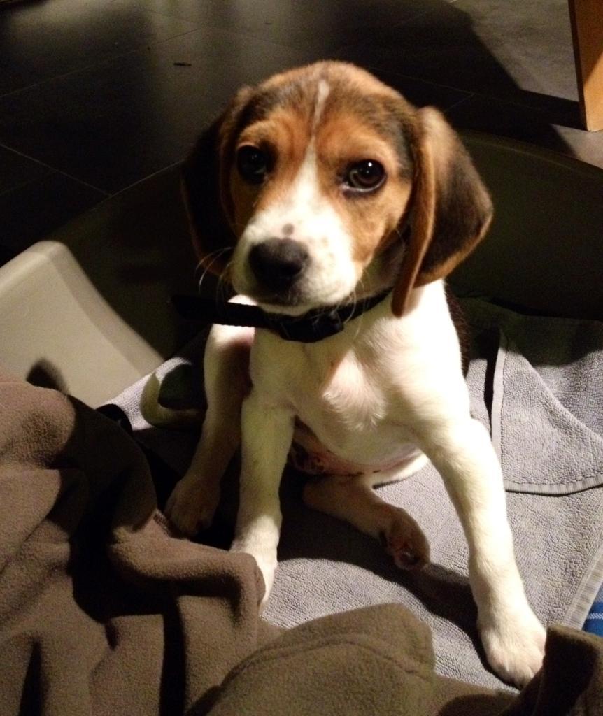 Ikoï, beagle de 3 mois