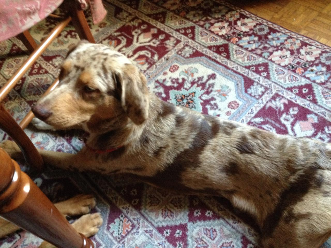 Igor, 8 mois croisé braque & border colle