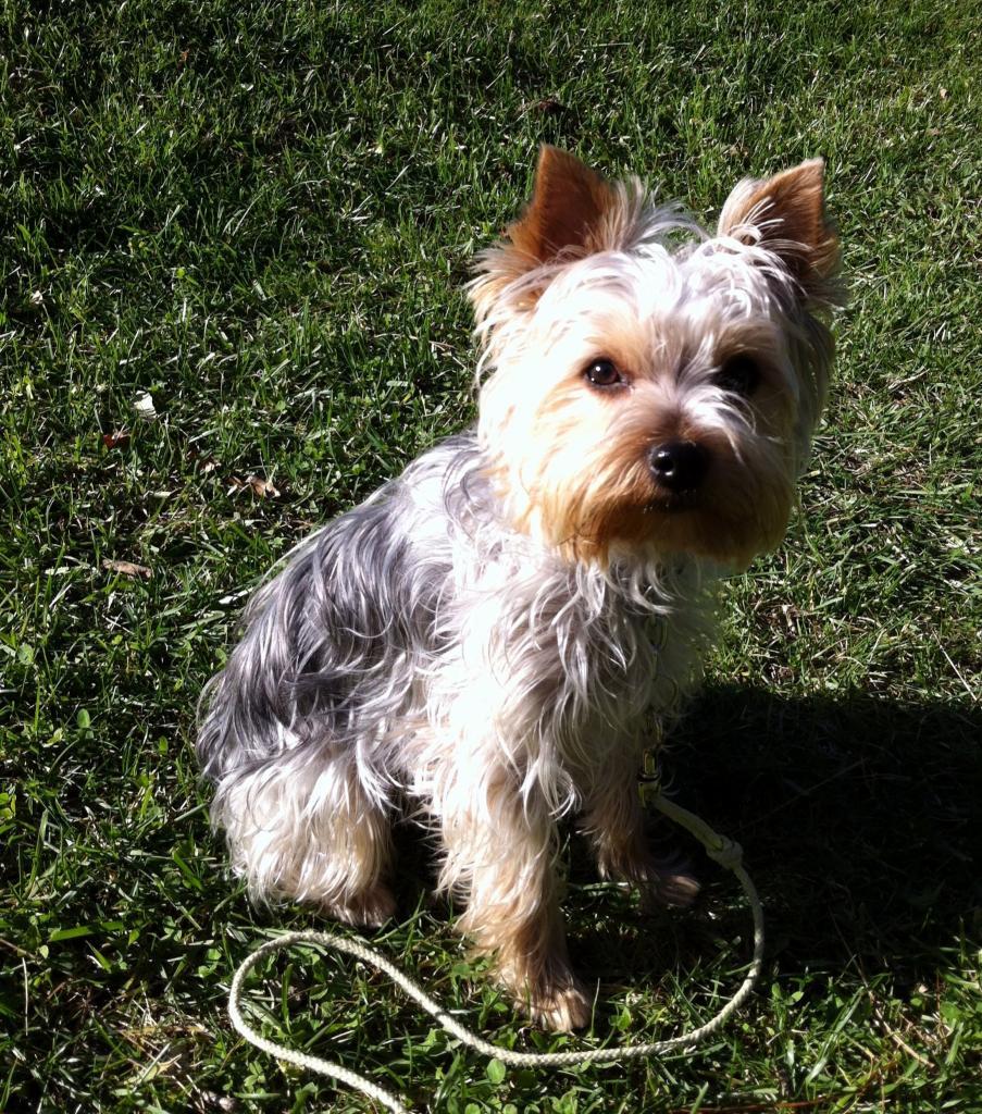 Gioia, yorkshire terrier de 1 an 1/2