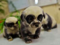 chiot chien panda 1