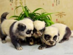 chiot chien panda 2