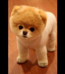 boo-est-un-chien-de-la-race-des-pomenariens-dr-photo-facebook-101603-w460.jpg