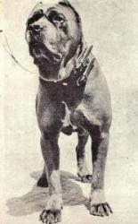 canecorsoancien1-186x300.jpg