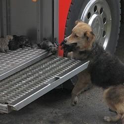 chienne-sauve-ses-chiots-d-un-incendie.jpg