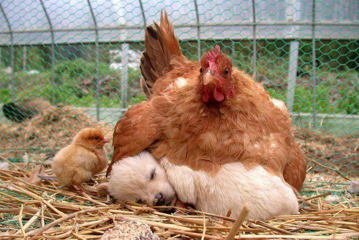 ma poule !!!!