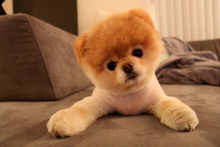 boo, élu le plus beau chien du monde