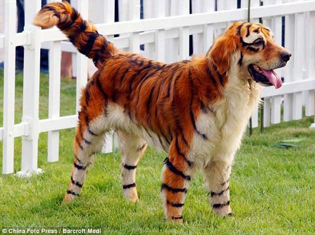 chien tigre