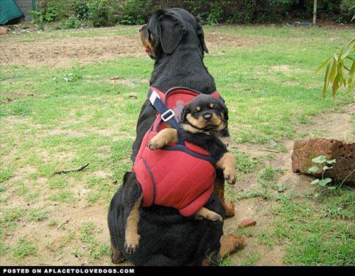 kangourou dog .....