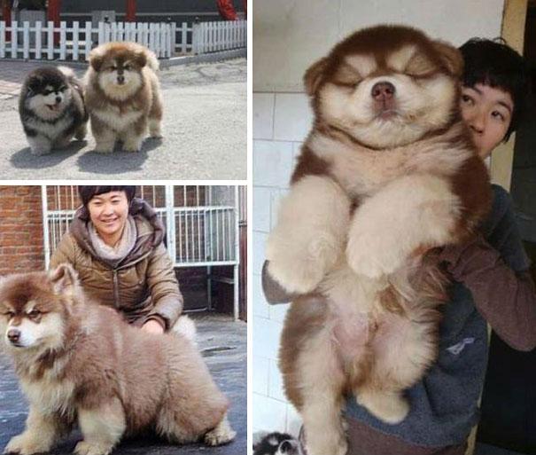 chow chow & husky
