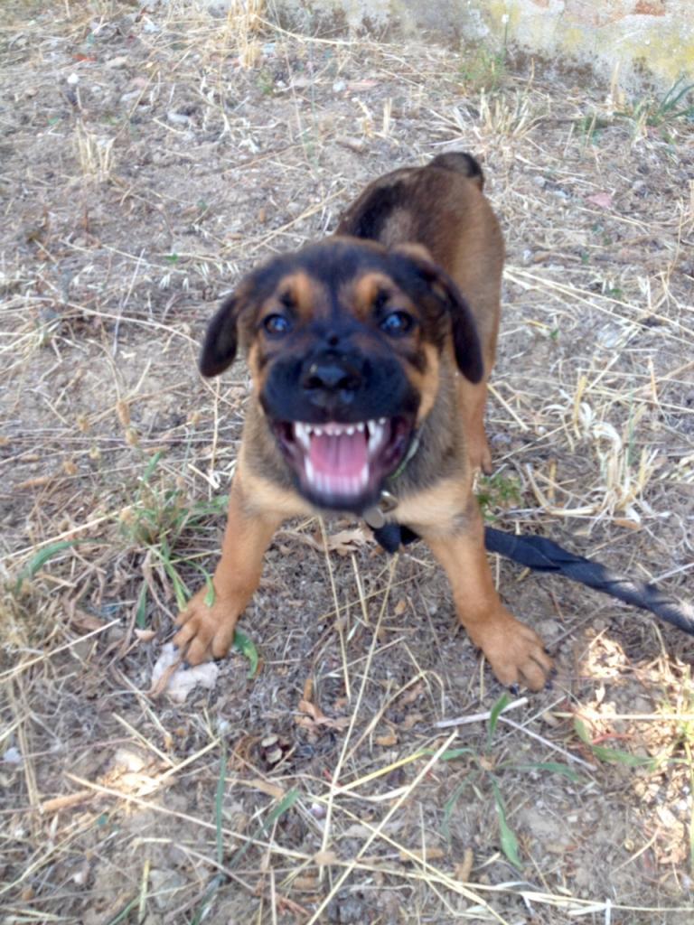 Lyndia, croisé rottweiler & malinois de 2 mois