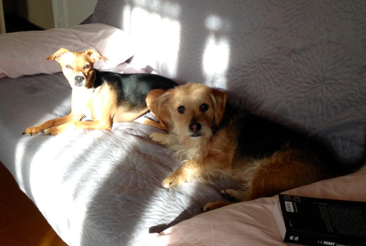 Cannelle & Cookie croisé pinsher 2 ans