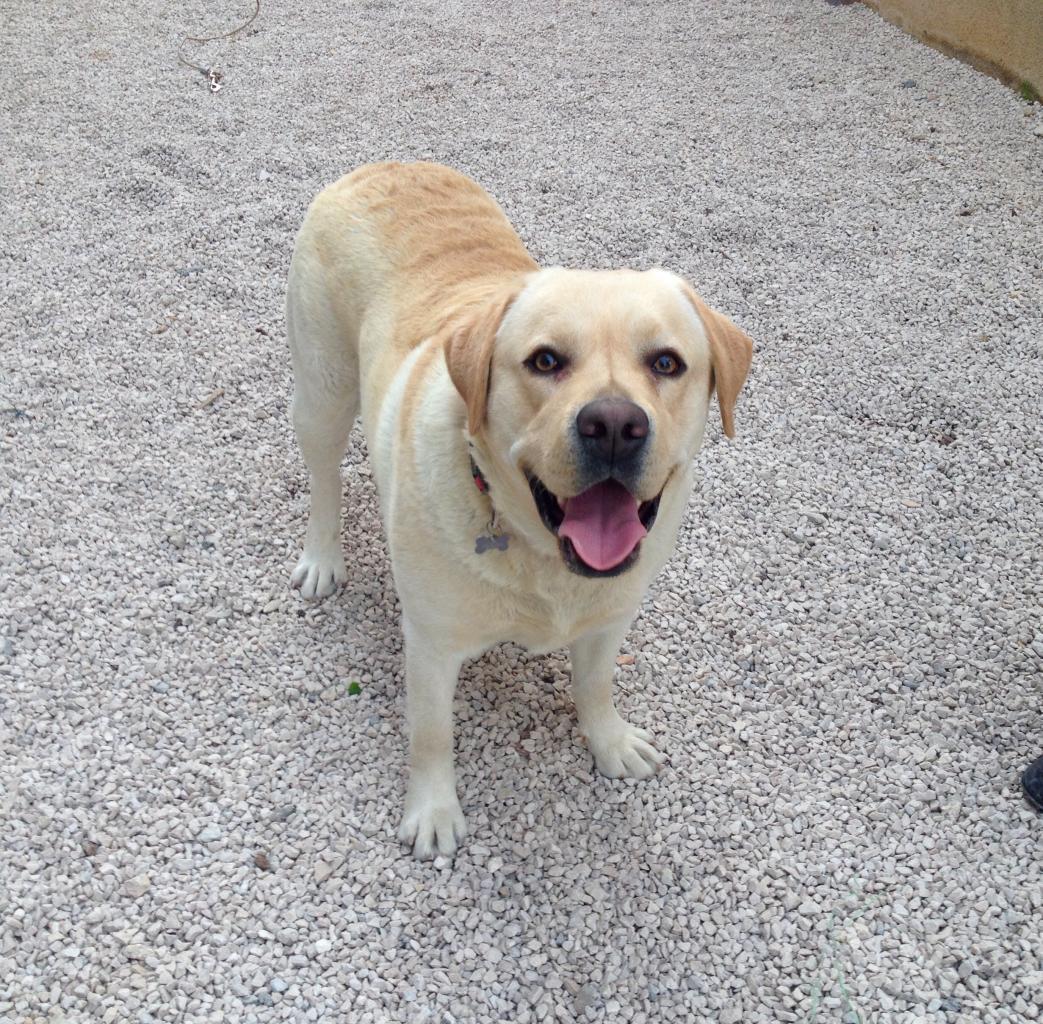 Samy, labrador de 2 ans