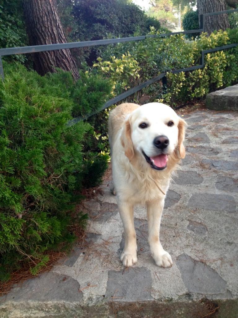 Isydor, golden de 2 ans