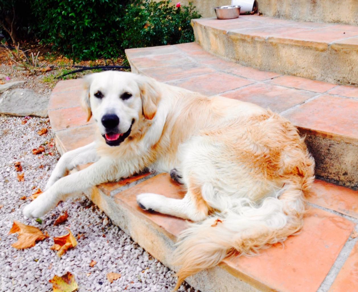 Jake, golden de 10 mois