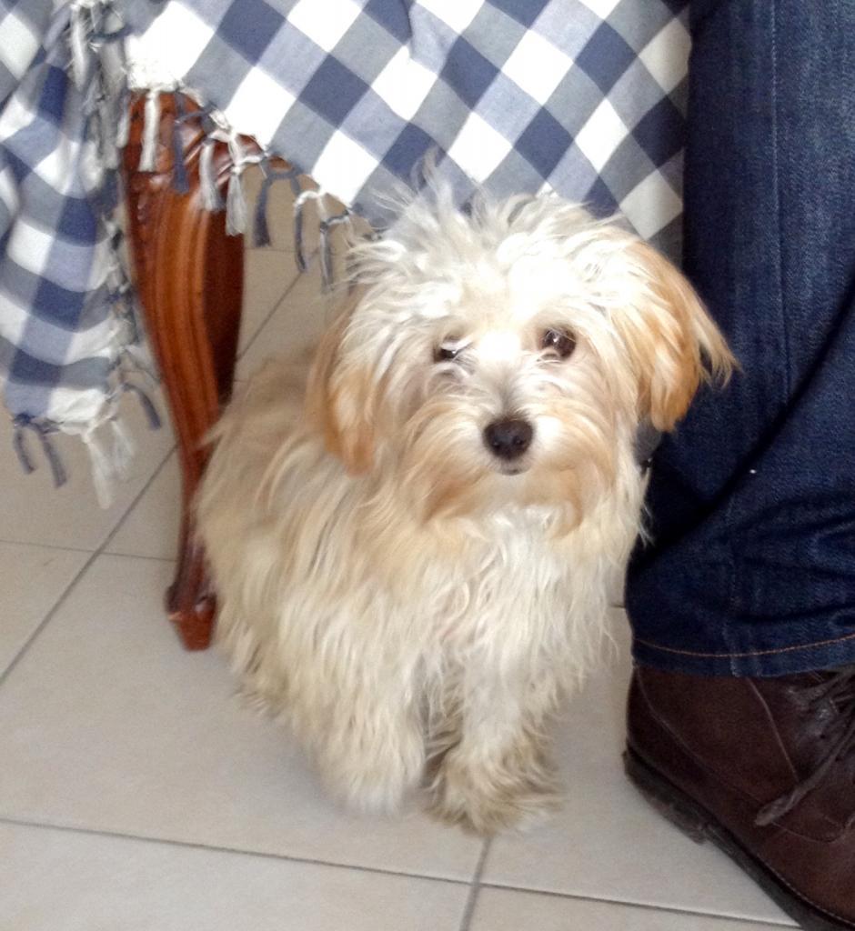 Chipie, bichon havanais de 7 mois
