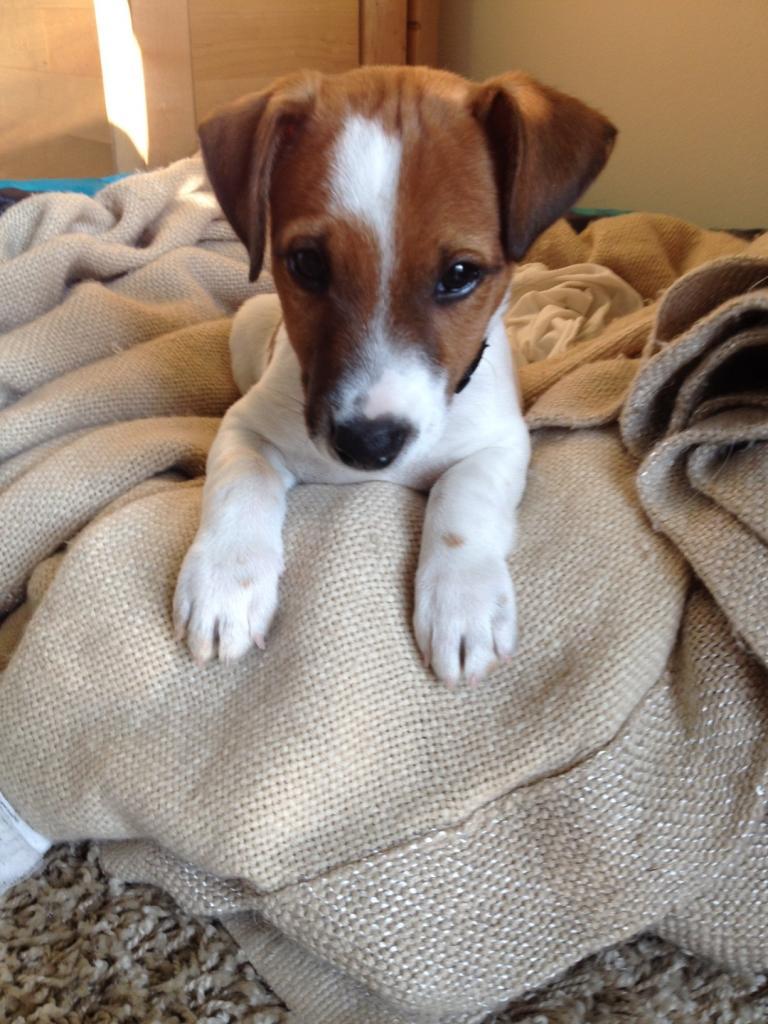 Gus, Jack Russel de 2 mois