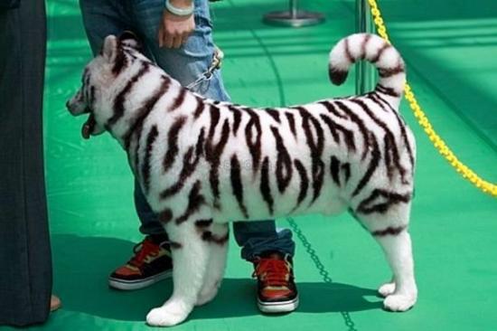 il y a un tigre blanc par là !