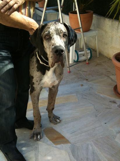 Fonzy, 6 mois (dogue allemand)