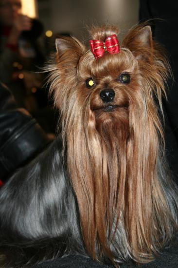 salon du chien Yorkshire terrier