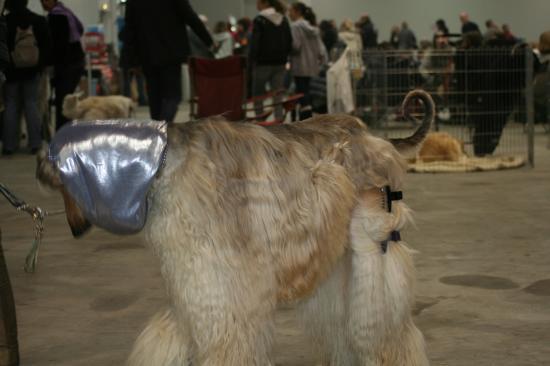 salon du chien lévrier afghan