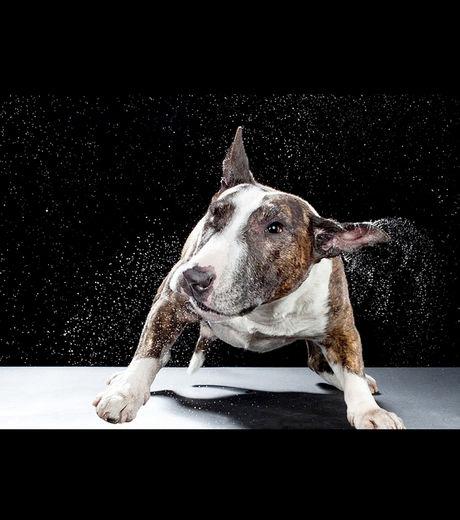 bulle terrier