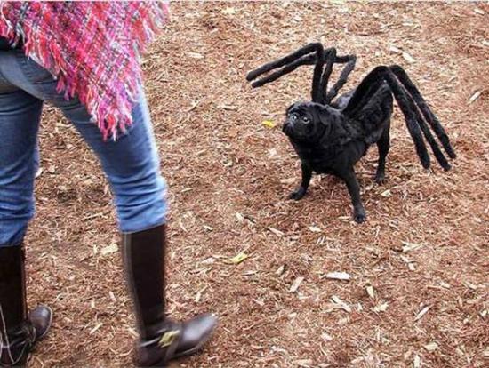 Chi-araignée