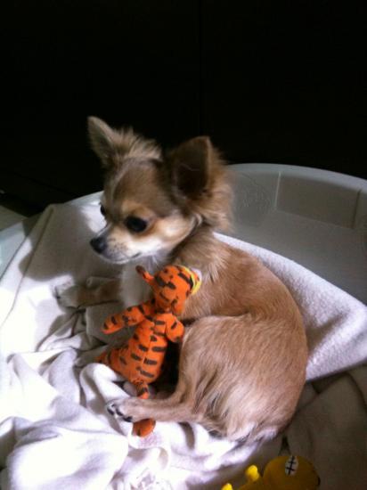 Eliot chihuahua de 6 mois