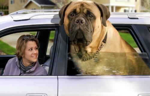 je suis le plus gros chien un Mastiff de 155 Kg