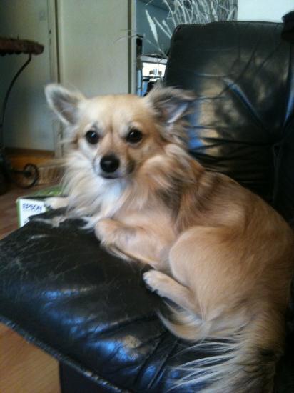 Dino (Chihuahua 2 ans)