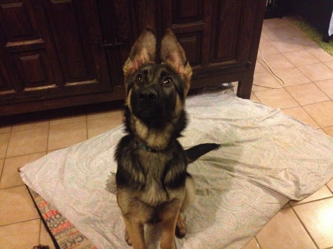 Misha, berger allemand de 6 mois