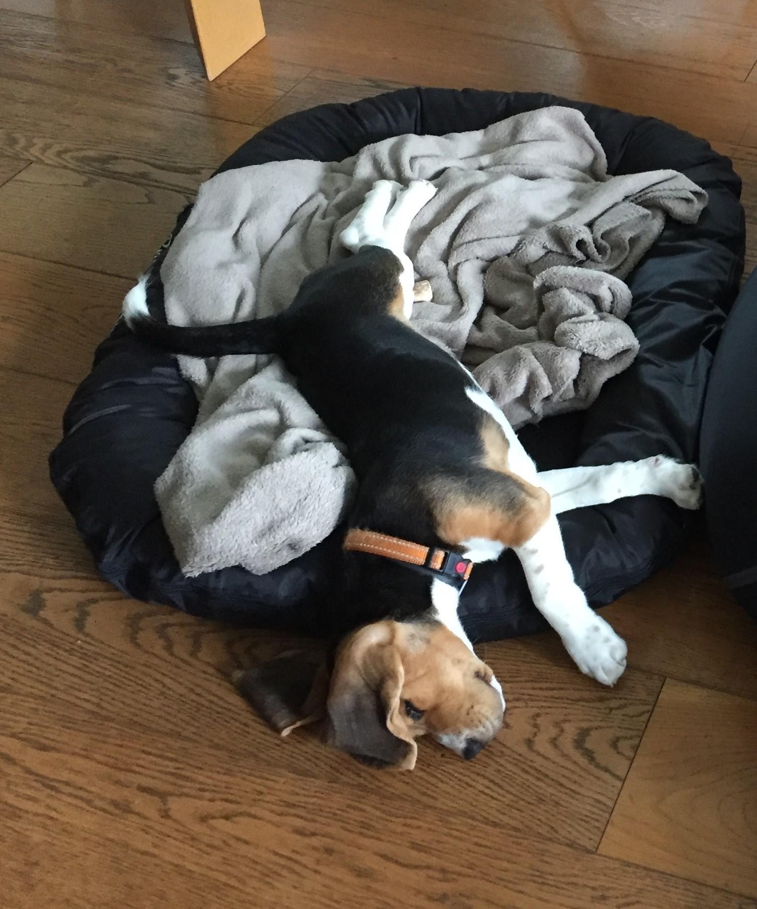 Porto, beagle 3 mois