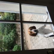 Ludwig, chien courant de 8 mois