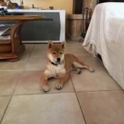 Pepsy, shiba inu de 4 mois