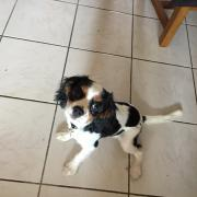 Poupy, cavalier king charles 4 mois