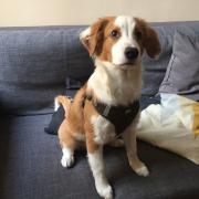 Poumba, croisé australien de 2 mois