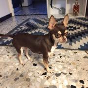 Nalah, chihuahua 1 an