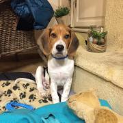 fleight, beagle de 5 mois