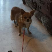Gladys, chihuahua 6 ans