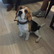 Malo, beagle 4 ans