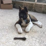 Penny, akita de 3 mois