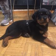 Roméo, rottweiler de 2 mois