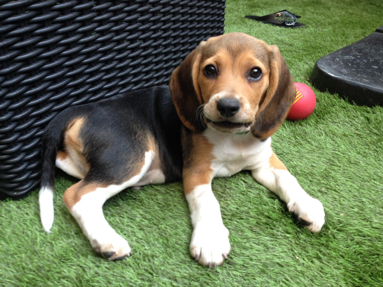 Marley, beagle 2 mois 2/1