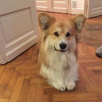 Sergey, Welsh Corgi de 1 an