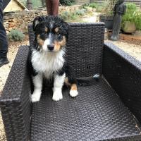 Lily, berger australien de 3 mois