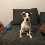 Peanut, jack russel de 17 mois