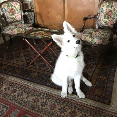 Alpha, berger suisse de 4 mois