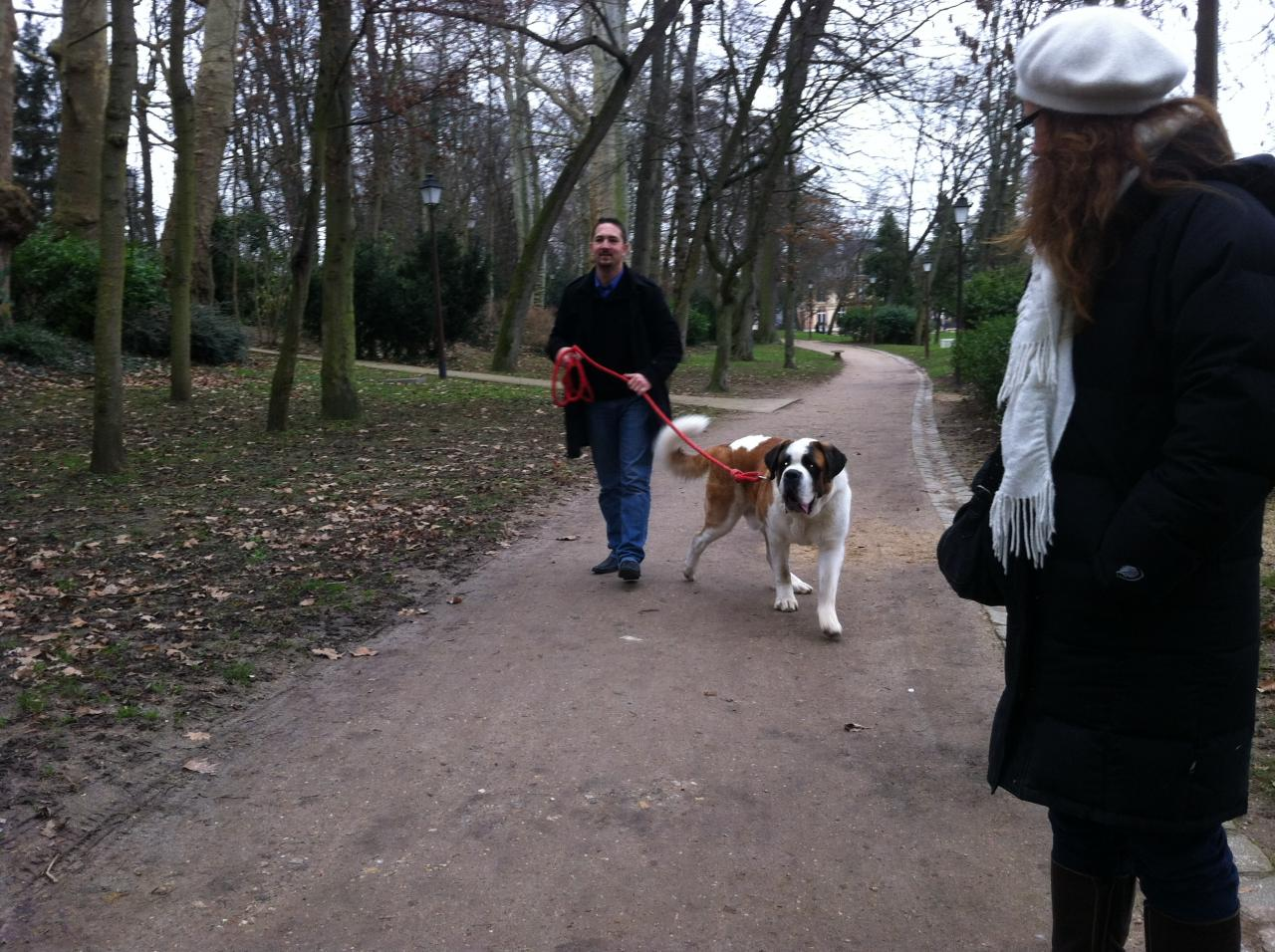 Saint Bernard de 1 an exercice dans un parc